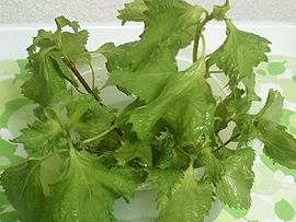 水耕栽培中の青紫蘇